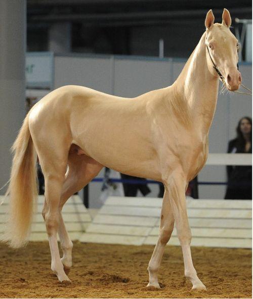 O cavalo mais bonito do mundo