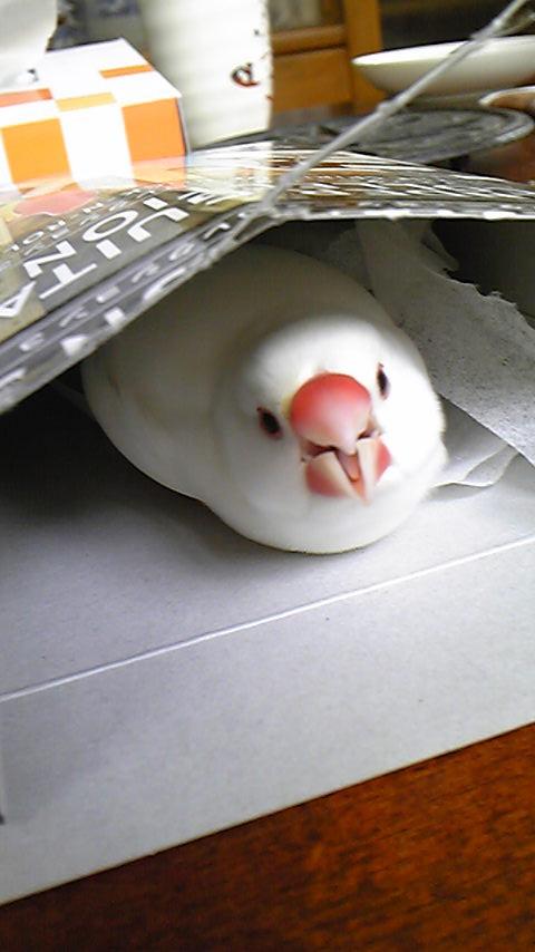 空箱気に入った。邪魔したら怒られた。 #buncho