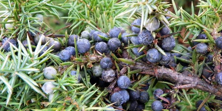 Juniper: The natural antibacterial, antiviral, diuretic, and antiseptic properties of Juniper (Juniperus communis) lend themselves well to treatment of a variety of internal and external conditions.