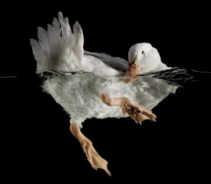 Duck: Animal Nature, Chuck Bradley, Animal Photography, Ducks Goo, Underwater Photography, Nature Photography, Amazing Animal, Birds, Ducks Bath