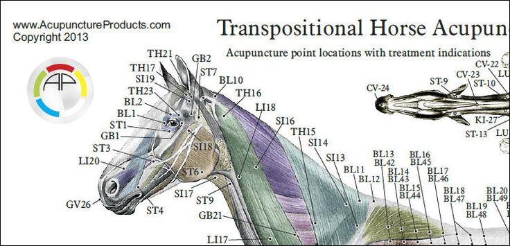 Horse - Equine Acupuncture Points Chart