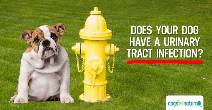 The Dreaded Dog Uti 3 Early Signs Your Dog May Have One Dog Uti Bladder Infection In Dogs Urinary Tract Infection Symptoms
