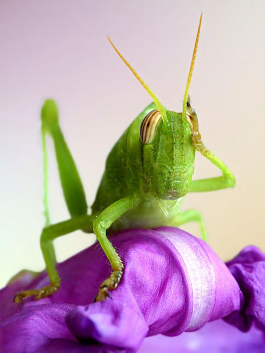 GrasshopperPhotos, Macrophotography, Bugs, The Thinker, Macro Photography, Green, Funny Animal, Insects, Purple Flower