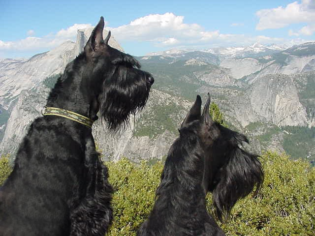 Handsome Giant Schnauzers in a mountain setting--lovely!