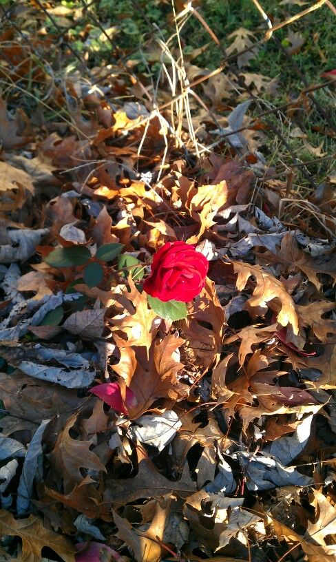 Lonely little rose