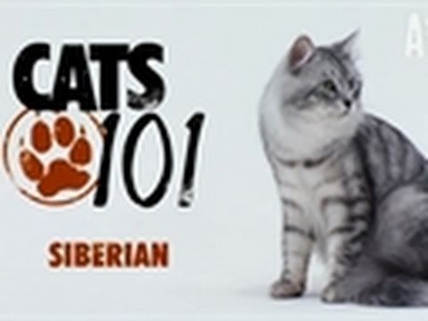 Cats 101 -Siberian   oh my goodness... have I been wrong all along!? Was Felix a Siberian Color-point and Bay as well!?!?! I feel duped.