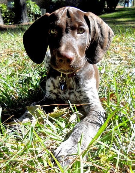 Scout the German Shorthaired Pointer puppy, posted via dailypuppy.com