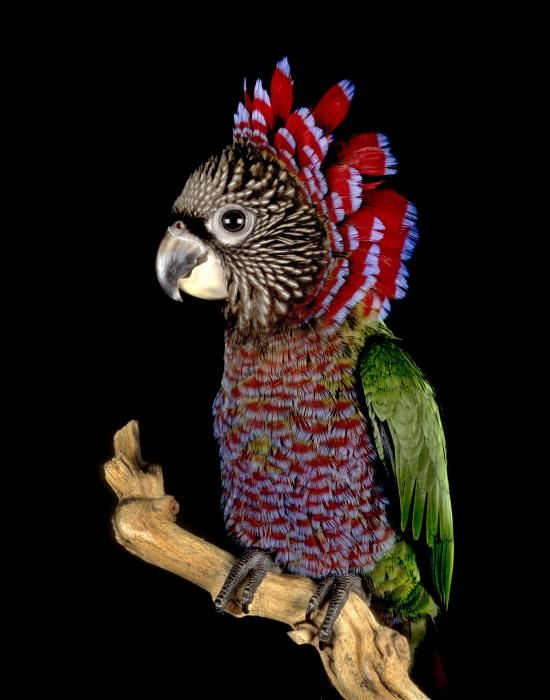 The red fan parrot (Deroptyus accipitrinus) is a species of New World parrot found in South America (the term New World is given to animals which are located in the Americas).  This parrot is rated as 'Least Concern' by the IUCN.