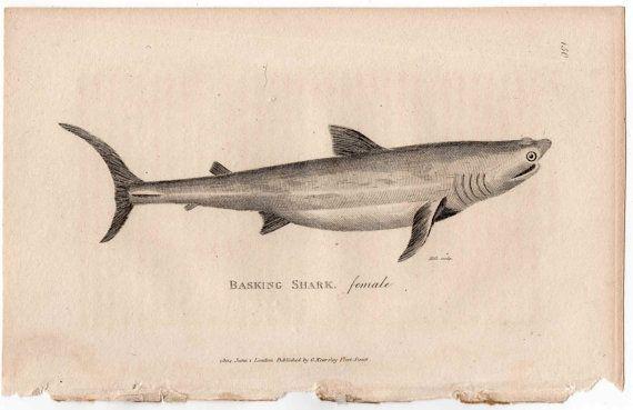 1804 basking shark female original antique sea life ocean fish engraving