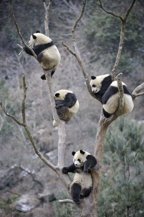Panda bears hanging out.