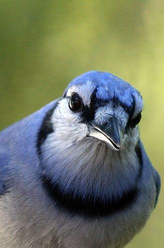 Blue Jay by Robert Taylor