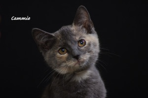 Cammie is an adoptable Dilute Tortoiseshell Cat in Indianapolis, IN. Take a look at this face. This is Cammie and she is an adorable dilute tortoiseshell kitten. Cammie is a cuddler and seems to love ...
