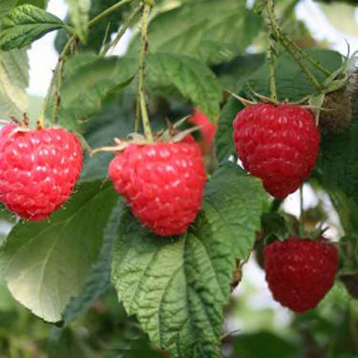 The raspberry has been used for centuries to treat pregnant women with morning sickness.