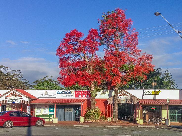 "Beautiful Flame Tree Outside the ""Flame Tree Cafe"" Main Western Road, Tamborine Mountain"