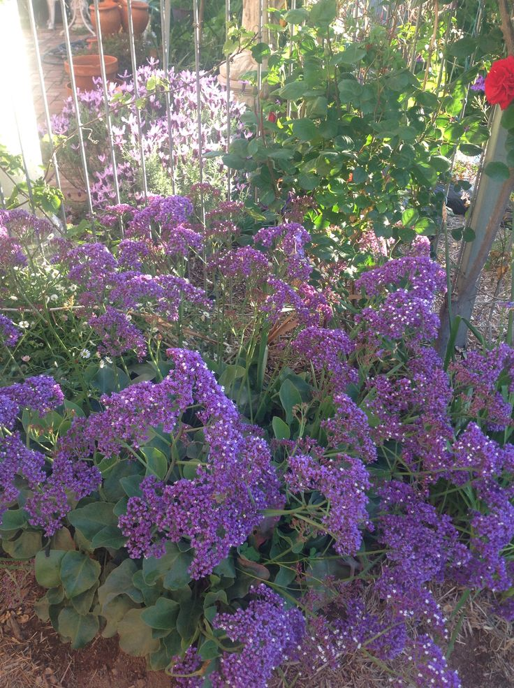 ELMS-HAVEN, Limonium, Perenzii Blue loves dry conditions so does really well in an Australian garden.