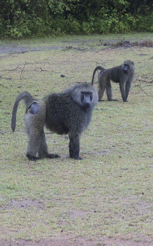 Consejos de viaje para tu safari en Kenia! Más en www.espressofiorentino.com