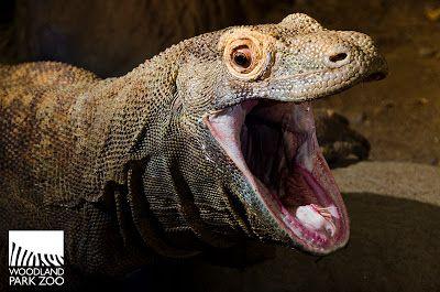 Woodland Park Zoo Blog: Komodo dragon turns 18