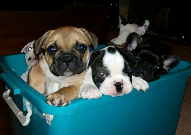 Crated frenchies