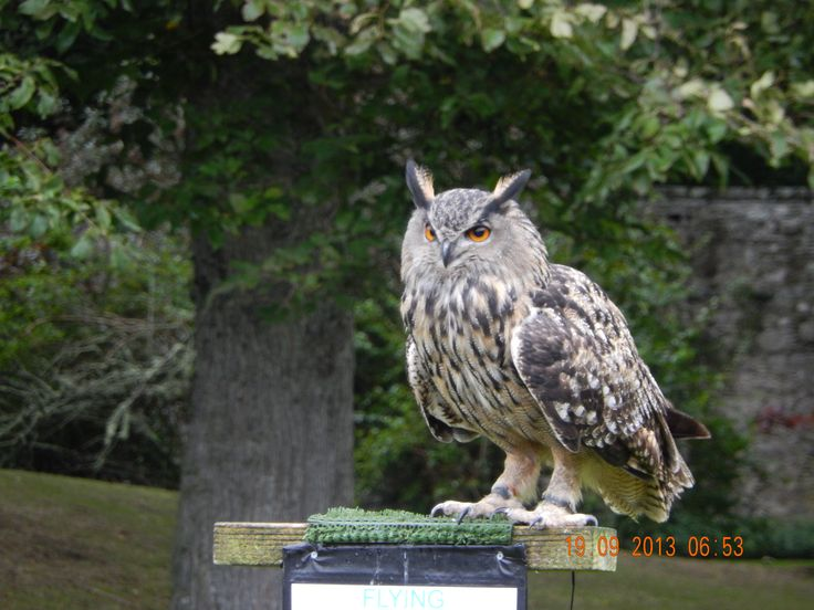 owl, bird of prey Dunrobin, Scotland
