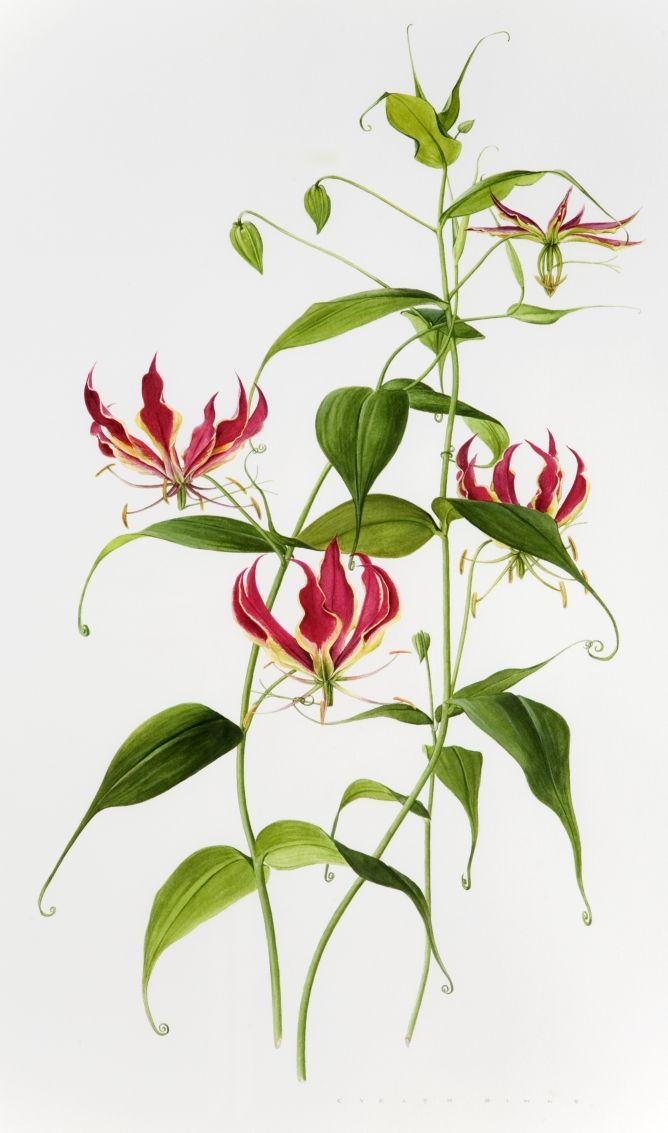 Gloriosa superba, also an African endemic