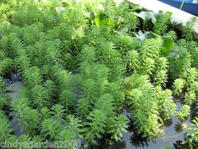 12 pieces parrot feather floating oxygenating pond grass for Oxygenating plants for a small pond