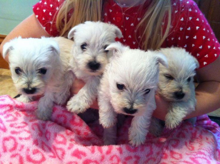 Westie Dog Puppy For Sale