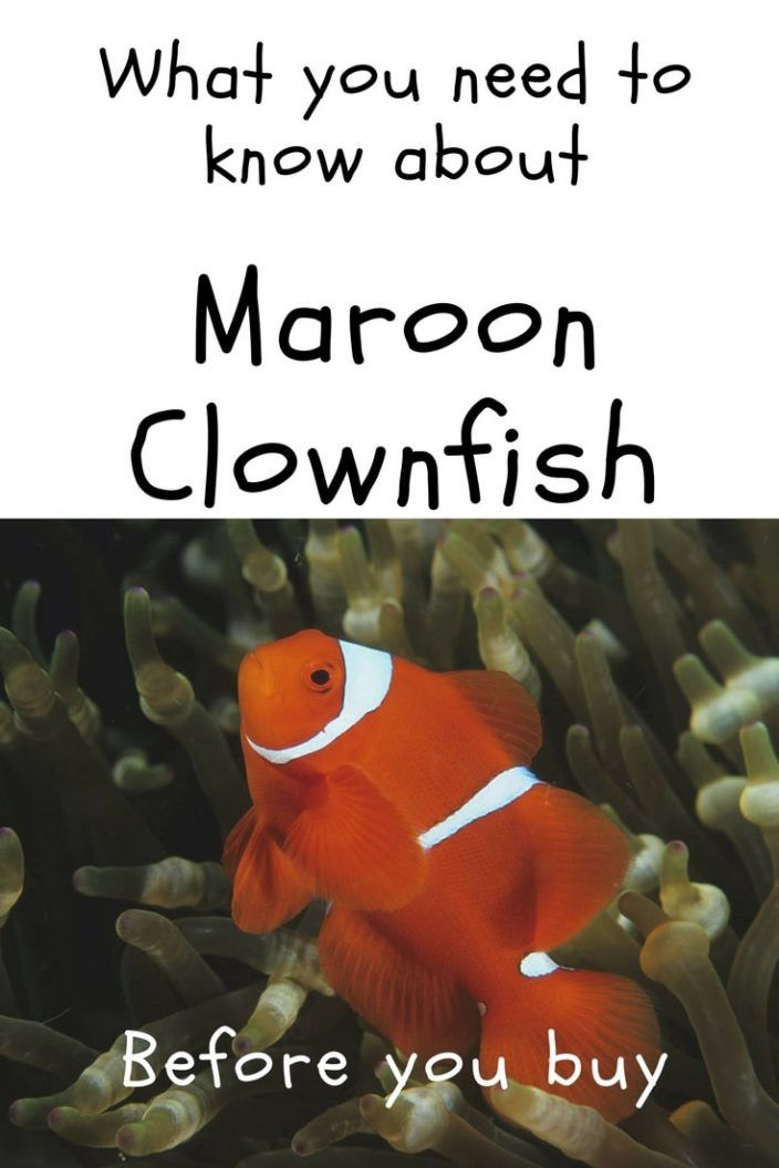 Maroon Clownfish What You Need To Know Before You Buy Saltwater Aquarium Blog Clown Fish Saltwater Aquarium Fish Saltwater Aquarium