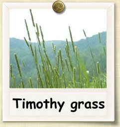How to Grow Timothy Grass | Feed fresh to your rabbits during warm months. If you can dry them to turn into hay, feed that during winter. Or you can just buy hay during the winter. Either way, growing this during the warm months will save money. #rabbits