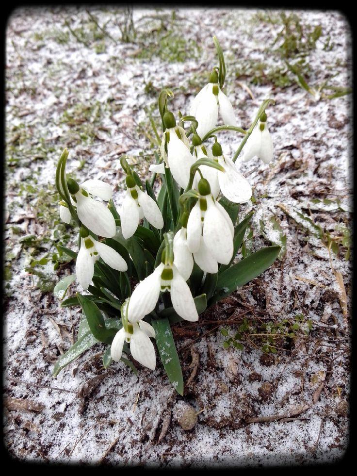 Tavasz közeleg... #spring #snowdrop