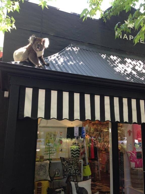 Local store Maple in Stirling's high street, Adelaide, South Australia, had an unexpected visitor!