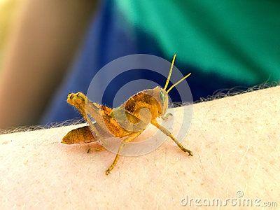 A close-up view of an orange grasshopper.