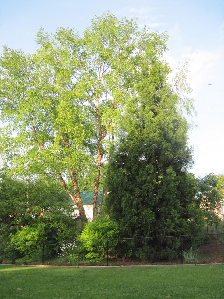 22 Best Trees Images On Pinterest Aspen Trees Paisajes