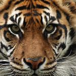 Sumatran Tiger - New Hero Image  They need our help to save them. www.worldwildlife.org/species/tiger#