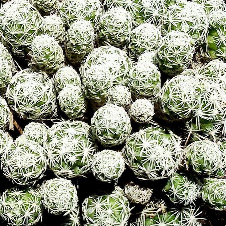 YoYo atelier   #cactus #cactuslover #cactusgarden #cactusmania #cactusgram #pattern #nature #greenery