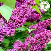 Syringa Vulgaris Charles Joly Tree  ...(Lilac)