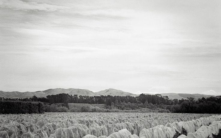 Looking across the tops of the vines on St Martin Vineyard, Huangarua Road, Martinborough, New Zealand