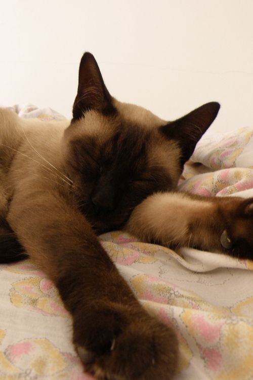 Siamese Cats at www.coolcattreehouse.com