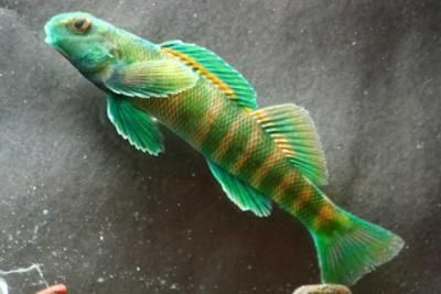 The greenside darter fish (Etheostoma blennioides) is a member of the Percidae family. The greenside darter lives in waters throughout most of the eastern United States.