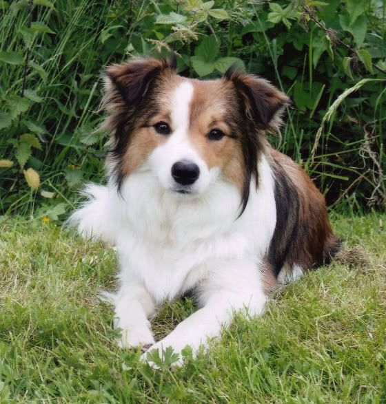 Border collies dogs - beige