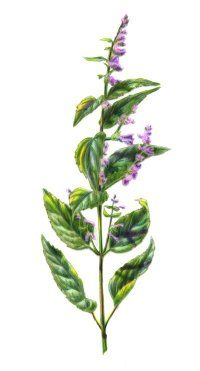 Skullcap for Anxiety: Skullcap has potent sedative properties that are extremely effective in reducing the symptoms of anxiety. The herbal remedy is used to treat conditions like insomnia, heart palpitations, and depression. Not suitable for pregnant women.