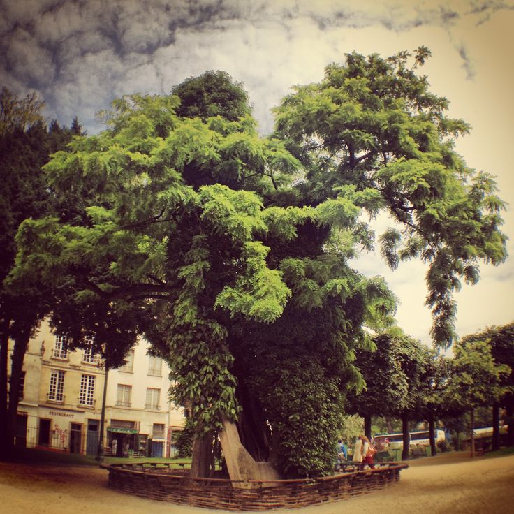 61 Best Images About Oldest Trees On Pinterest See More