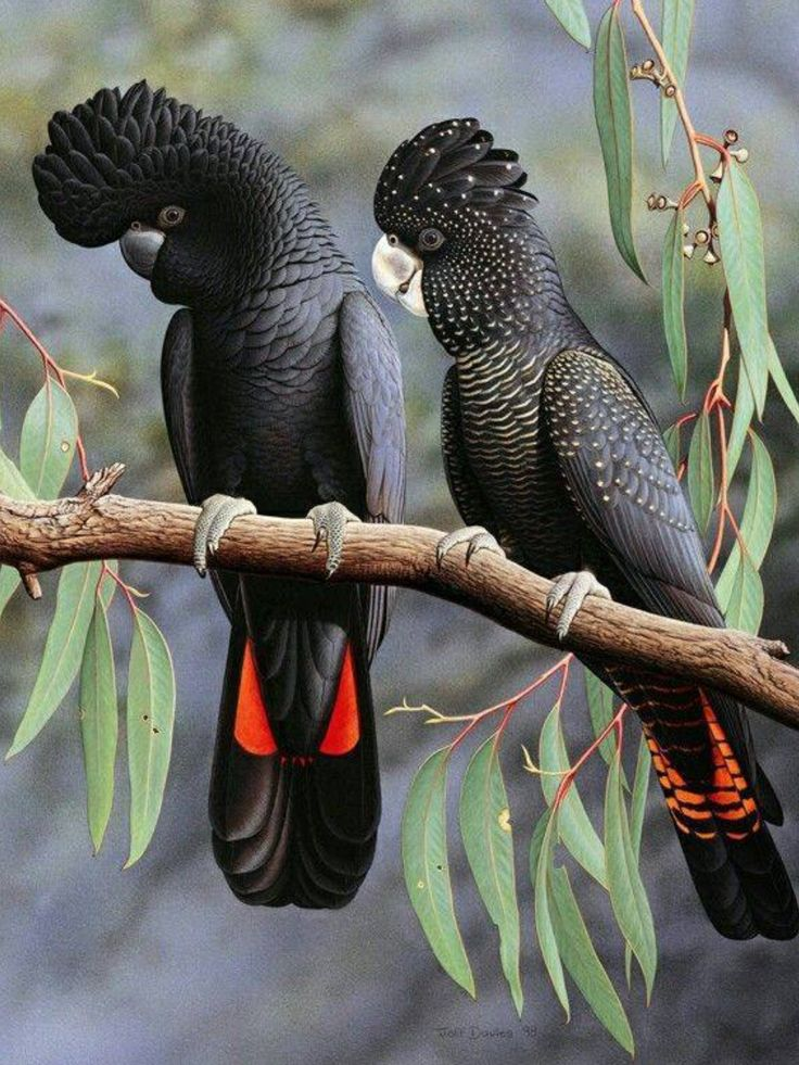 The Red-tailed Black Cockatoo (Calyptorhynchus banksii), also known as Banksian- or Banks' Black Cockatoo, is a large black cockatoo native to Australia