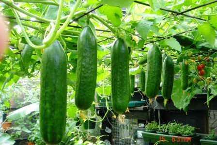 Hanging cucumbers. I didn't even know they would grow that way!