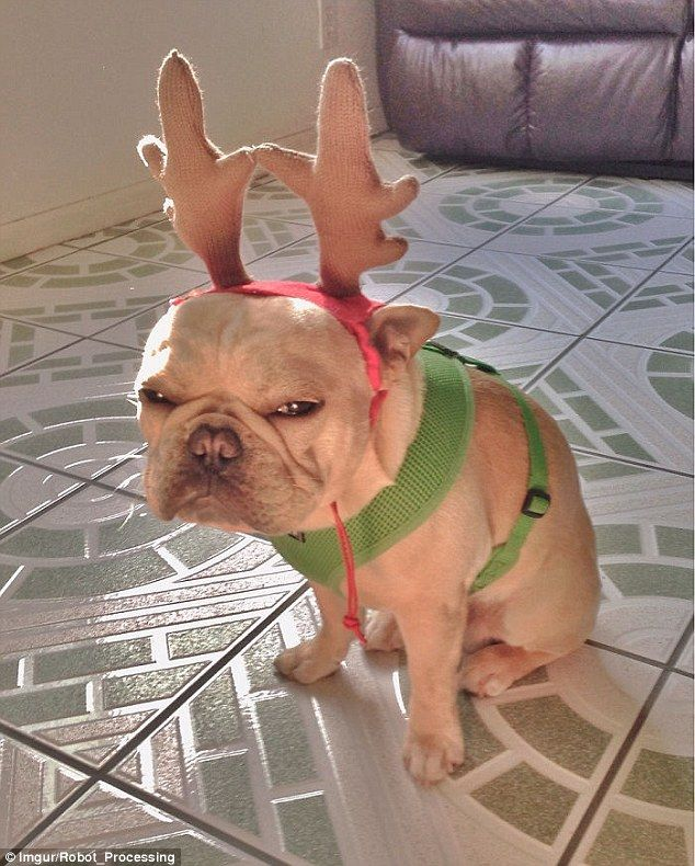 For many of the disgruntled animals the prospect of Christmas costume is anything other than amusing to them as this French Bulldog proves