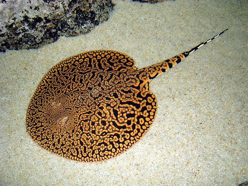 LOOKIT THAT STINGRAY. LOOKIT HIM. omg murderous tails have never been so cuddle inducing. Seriously, flip this lil guy on his back and they have little faces and omg yes.