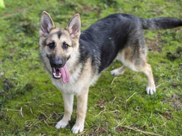 German Shepherd Dog Dog For Adoption In Placerville Ca Adn
