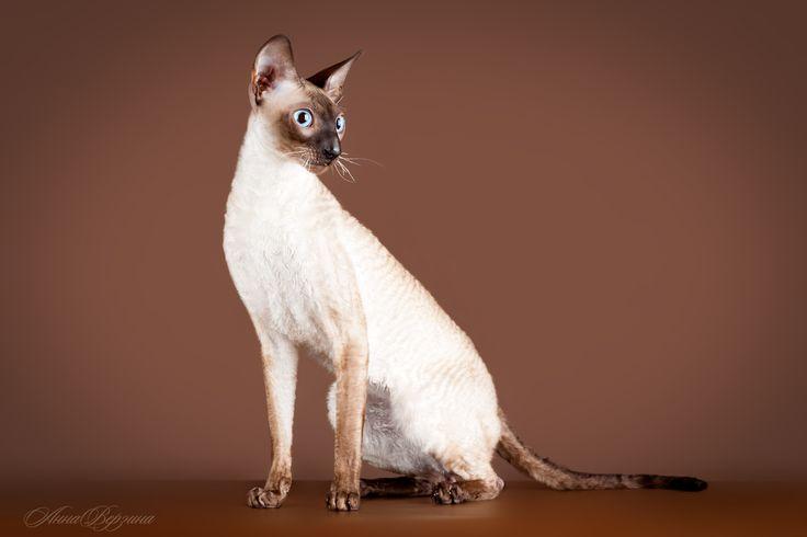 """Корниш-рекс, наверное, самая удобная в содержании порода. Установлен факт: из всех кошек лишь корниш-рекс практически никогда не вызывает аллергии у человека. Он не потеет, как """"голые"""" кошки, и не линяет. Со мной согласятся все владельцы корнишей: они никогда не видели его шерсть на вещах, одежде, мебели... Эти животные наделены хорошим иммунитетом и неприхотливы в содержании."""