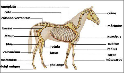 Image - squelette du cheval - Blog de commentetreveto - Skyrock.com