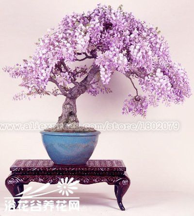 20PCS rare japanese wisteria bonsai tree seeds, potted flower seeds, Indoor perennial ornamental plants for DIY home
