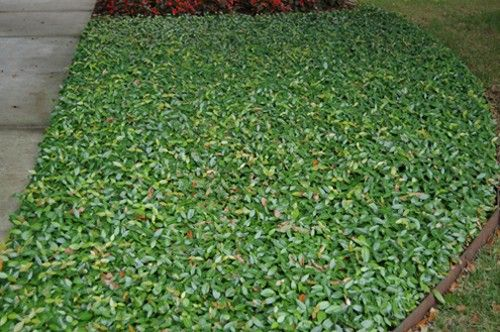 Asiatic jasmine ground cover jasmine asiatic asian for Landscaping ground cover plants